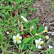 Wild Strawberry Blooms