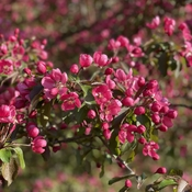 Crabapple in bloom!