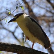 Black-crowned Night-Heron @ Grenadier Pond, Toronto, ON