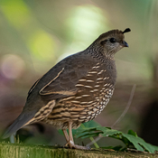 Quail close up