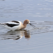 American avocet eating a leech