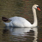 Swan @ Grenadier Pond, Toronto, ON