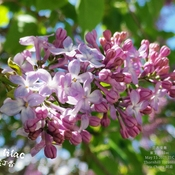 Welcome Spring - Lilacs bloom 21C Thornhill - May 15 2021