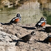 Harlequin Ducks in Kananaskis