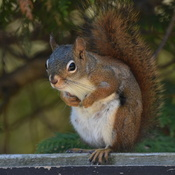 Kincardine Squirrel