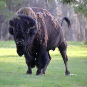 Plain bison male
