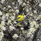 Gold Finch among the blossoms