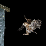 eastern screech owl (catch of the day)