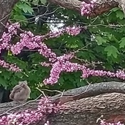 Baby Cardinal in Redbud.