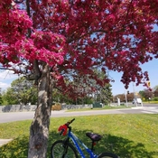 17/5/2021 Enjoy the summer feel 24C! Crabapple tree - Thornhill