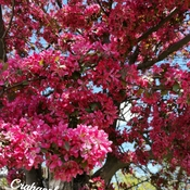 17/5/2021 Enjoy the summer feel 24C! Crabapple tree in full bloom - Thornhill