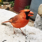 This cute Cardinal waits to be fed every day