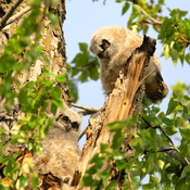 Siblings of owlet