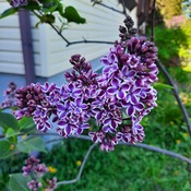 another lilac tree