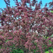my other crabapple tree
