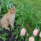 Ginger loves the tulips.