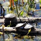 Turtles sunning at Mud Lake