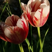 Pair of Tulips - Love and Care - 22C Thornhill summer feel - May 17 2021