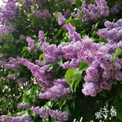 18/5/2021 Purple beauty - Lilac in full bloom -early summer 27C